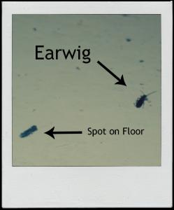 earwig vs. spot