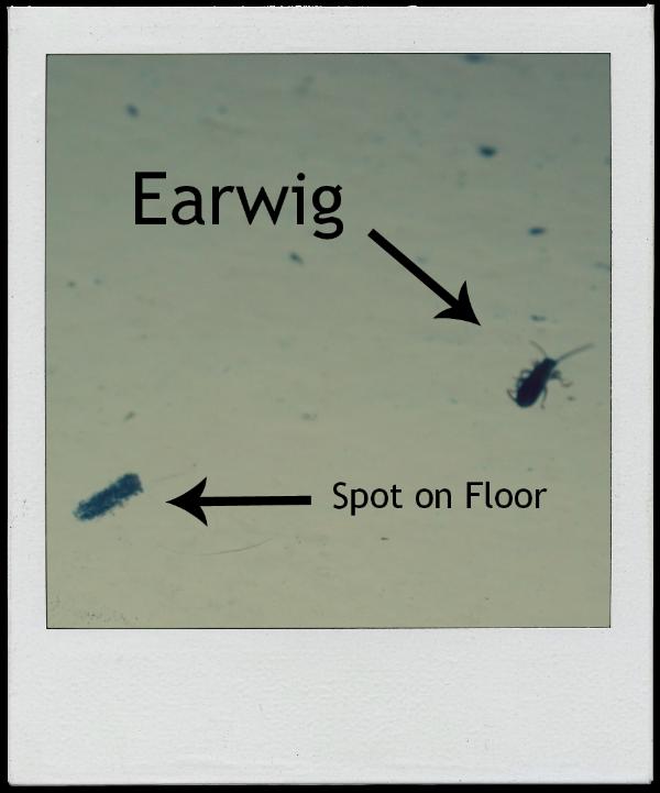 of earwigs